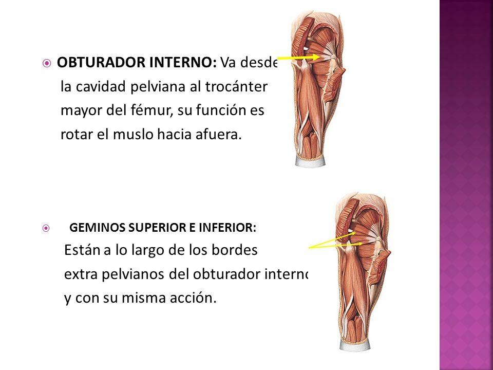 OBTURADOR INTERNO: Va desde la cavidad pelviana al trocánter mayor del fémur, su función es rotar el muslo hacia afuera.