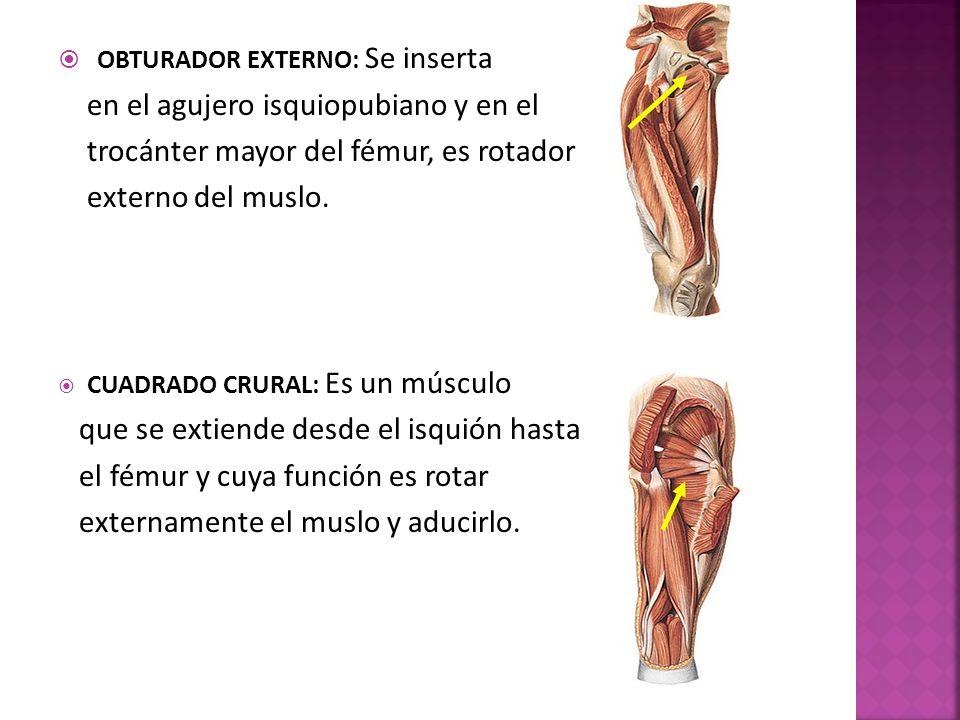 OBTURADOR EXTERNO: Se inserta en el agujero isquiopubiano y en el trocánter mayor del fémur, es rotador externo del muslo.