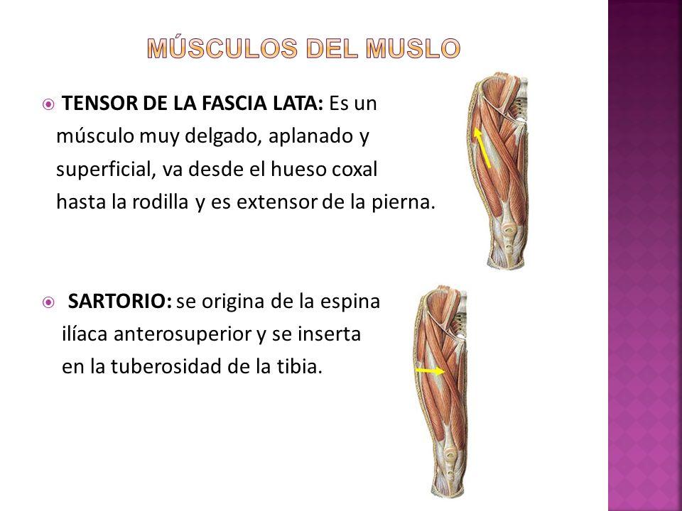 TENSOR DE LA FASCIA LATA: Es un músculo muy delgado, aplanado y superficial, va desde el hueso coxal hasta la rodilla y es extensor de la pierna.