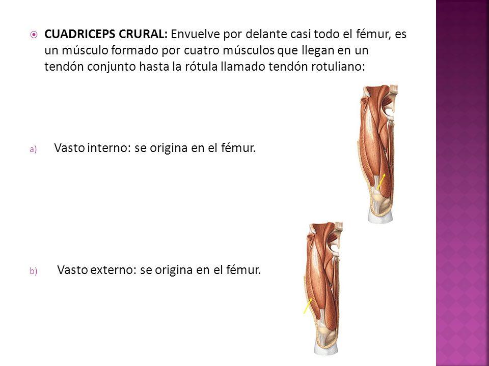 c) Recto anterior: se origina del hueso coxal.d) Crural: se origina del fémur.