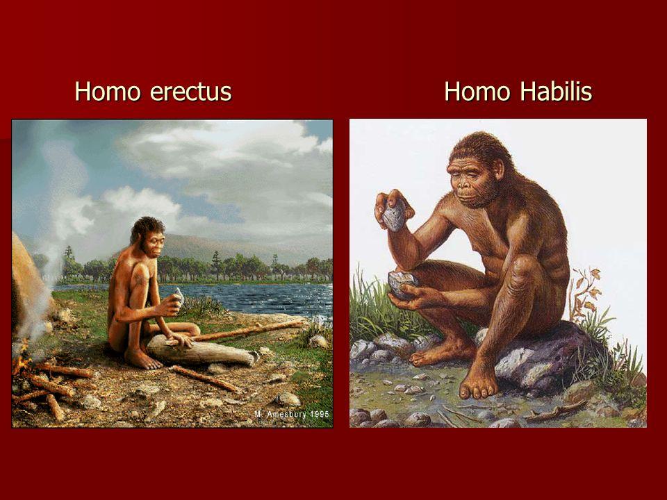 Homo erectus Homo Habilis