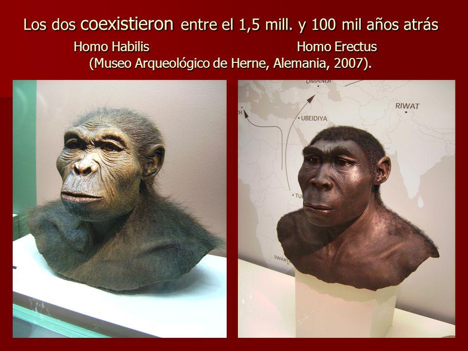 Los dos coexistieron entre el 1,5 mill. y 100 mil años atrás Homo Habilis Homo Erectus Homo Habilis Homo Erectus (Museo Arqueológico de Herne, Alemani