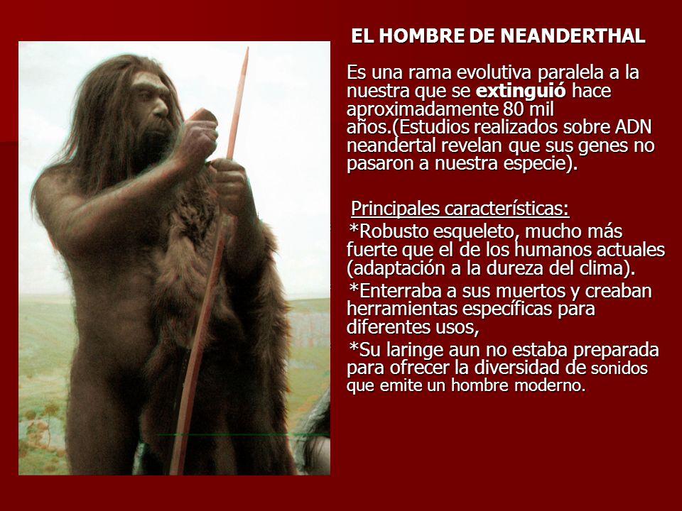 EL HOMBRE DE NEANDERTHAL Es una rama evolutiva paralela a la nuestra que se extinguió hace aproximadamente 80 mil años.(Estudios realizados sobre ADN neandertal revelan que sus genes no pasaron a nuestra especie).