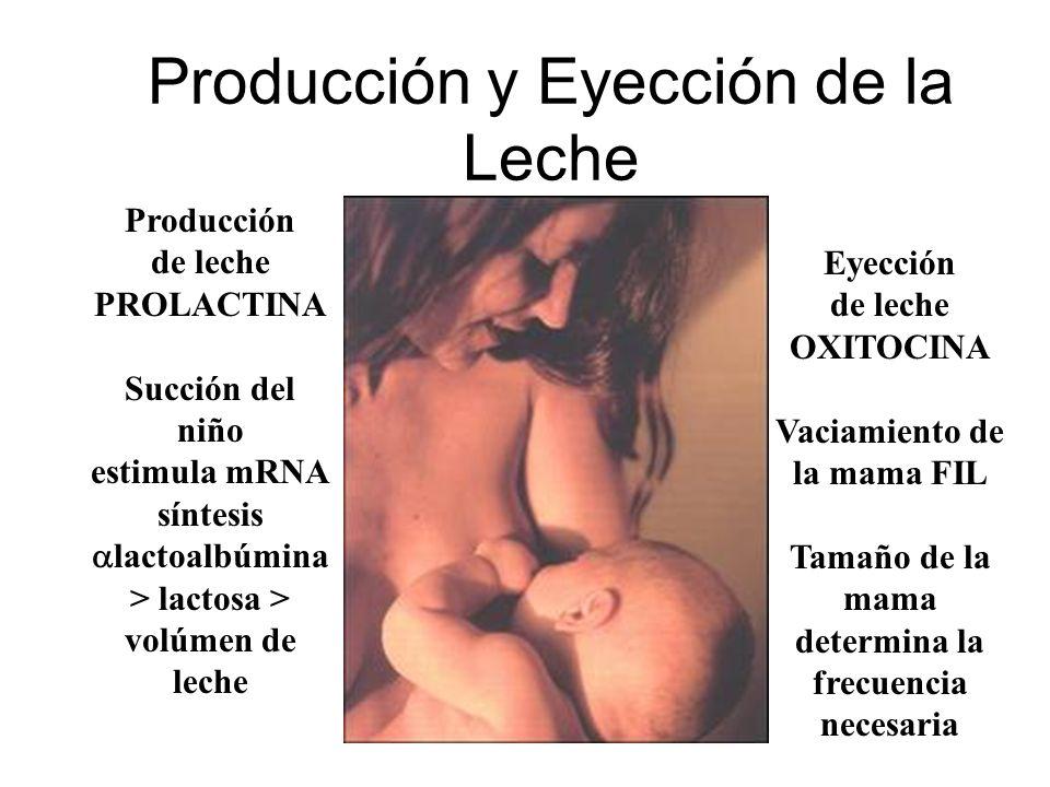 Producción y Eyección de la Leche Producción de leche PROLACTINA Succión del niño estimula mRNA síntesis lactoalbúmina > lactosa > volúmen de leche Ey