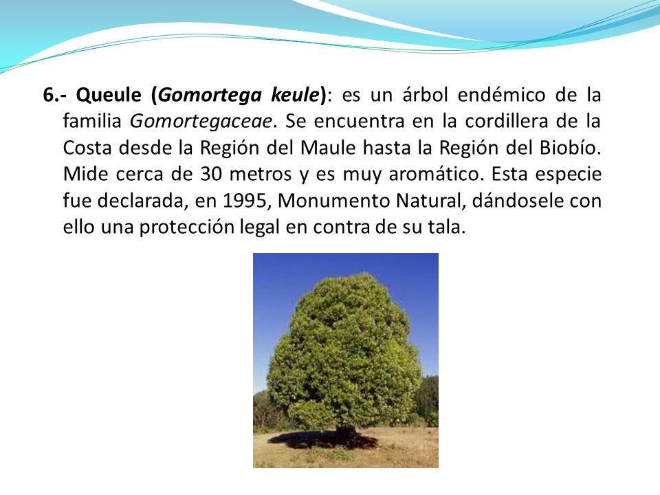 6.- Queule (Gomortega keule): es un árbol endémico de la familia Gomortegaceae. Se encuentra en la cordillera de la Costa desde la Región del Maule ha