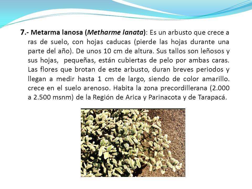 7.- Metarma lanosa (Metharme lanata): Es un arbusto que crece a ras de suelo, con hojas caducas (pierde las hojas durante una parte del año). De unos