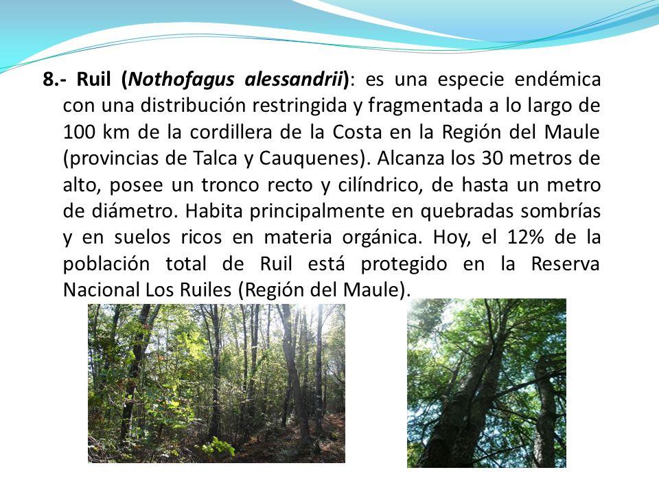 8.- Ruil (Nothofagus alessandrii): es una especie endémica con una distribución restringida y fragmentada a lo largo de 100 km de la cordillera de la