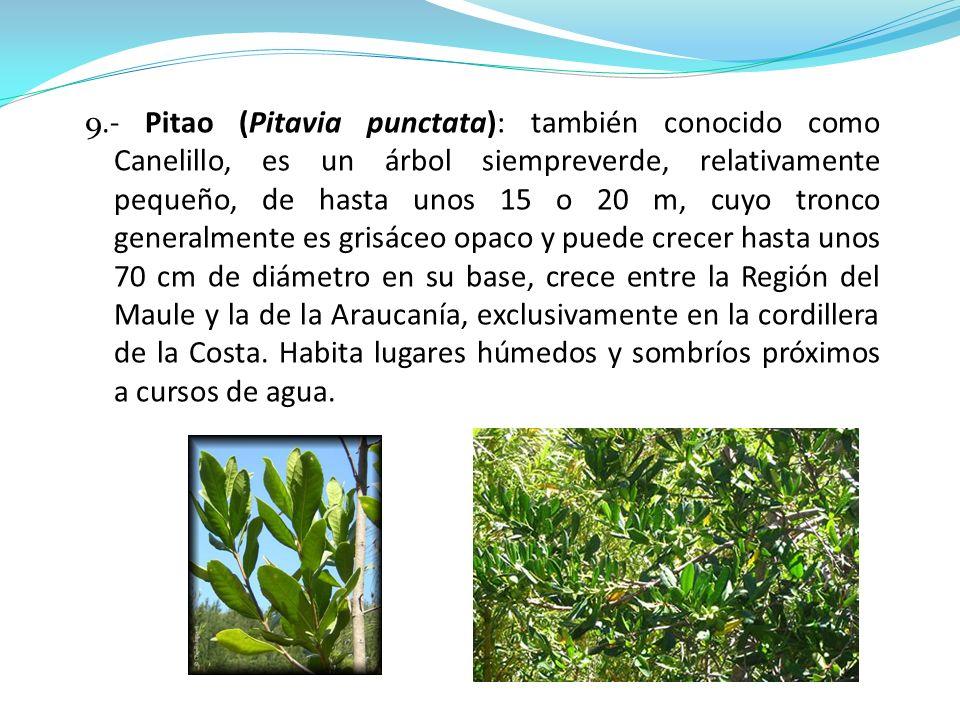 9.- Pitao (Pitavia punctata): también conocido como Canelillo, es un árbol siempreverde, relativamente pequeño, de hasta unos 15 o 20 m, cuyo tronco g