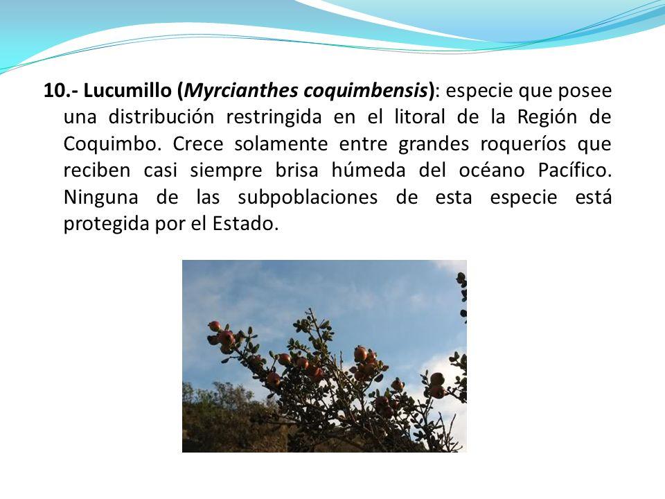 10.- Lucumillo (Myrcianthes coquimbensis): especie que posee una distribución restringida en el litoral de la Región de Coquimbo. Crece solamente entr