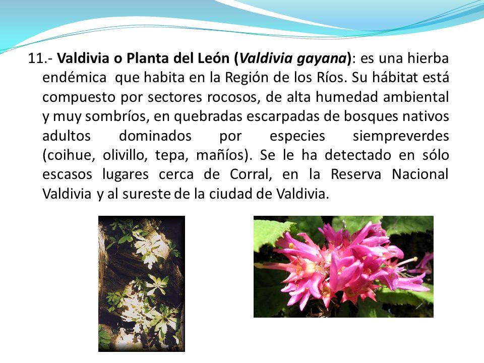 11.- Valdivia o Planta del León (Valdivia gayana): es una hierba endémica que habita en la Región de los Ríos. Su hábitat está compuesto por sectores