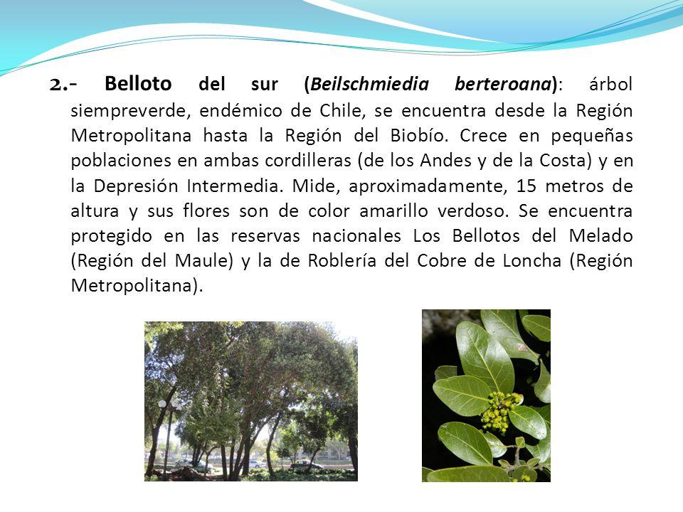 2.- Belloto del sur (Beilschmiedia berteroana): árbol siempreverde, endémico de Chile, se encuentra desde la Región Metropolitana hasta la Región del