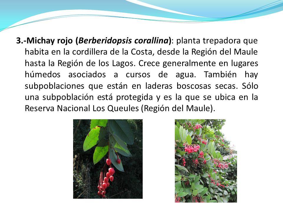 3.-Michay rojo (Berberidopsis corallina): planta trepadora que habita en la cordillera de la Costa, desde la Región del Maule hasta la Región de los L