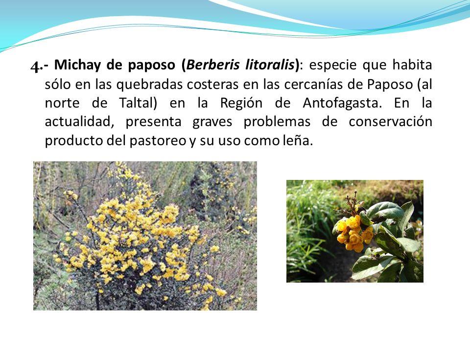 4.- Michay de paposo (Berberis litoralis): especie que habita sólo en las quebradas costeras en las cercanías de Paposo (al norte de Taltal) en la Reg