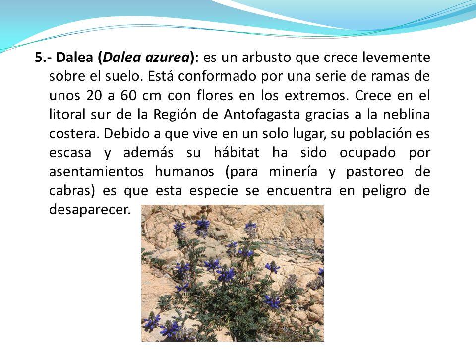 5.- Dalea (Dalea azurea): es un arbusto que crece levemente sobre el suelo. Está conformado por una serie de ramas de unos 20 a 60 cm con flores en lo