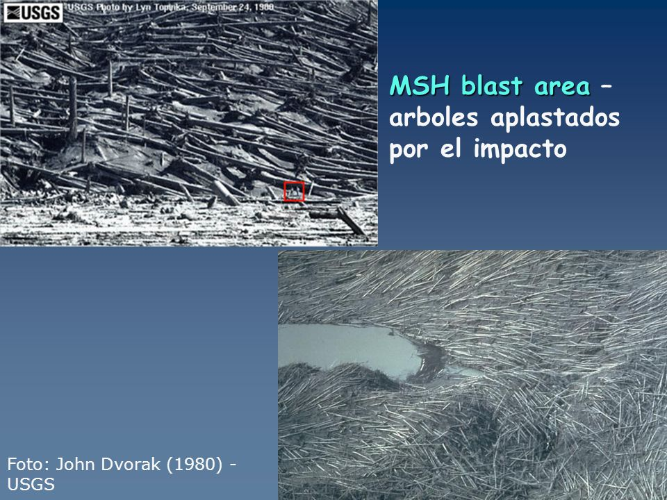 MSH blast area MSH blast area – arboles aplastados por el impacto Foto: John Dvorak (1980) - USGS