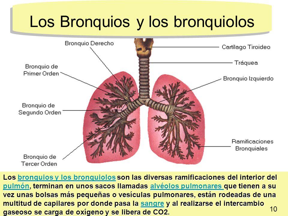 Los Bronquios y los bronquiolos Los bronquios y los bronquiolos son las diversas ramificaciones del interior del pulmón, terminan en unos sacos llamad