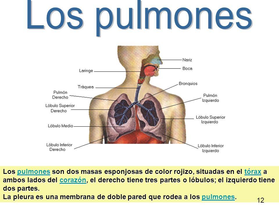 Los pulmones son dos masas esponjosas de color rojizo, situadas en el tórax a ambos lados del corazón, el derecho tiene tres partes o lóbulos; el izqu