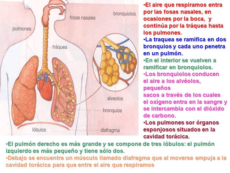 El aire que respiramos entra por las fosas nasales, en ocasiones por la boca, y continúa por la tráquea hasta los pulmones.El aire que respiramos entr