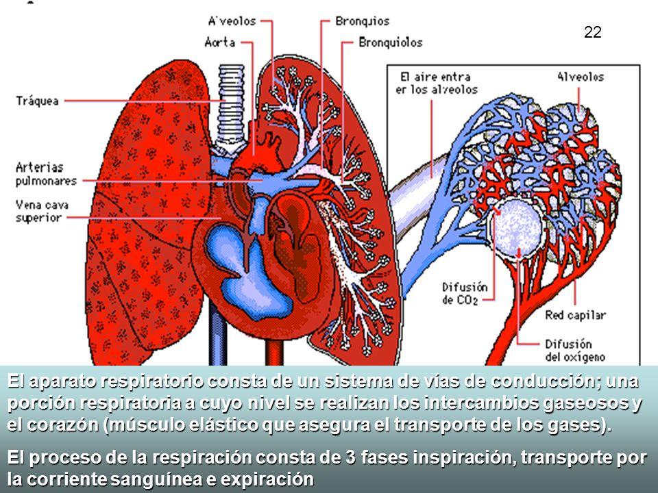 El aparato respiratorio consta de un sistema de vías de conducción; una porción respiratoria a cuyo nivel se realizan los intercambios gaseosos y el c