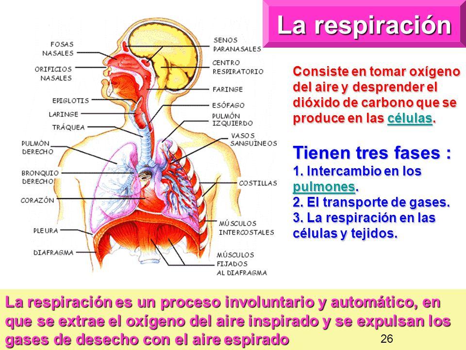 La respiración Consiste en tomar oxígeno del aire y desprender el dióxido de carbono que se produce en las células. células Tienen tres fases : 1. Int