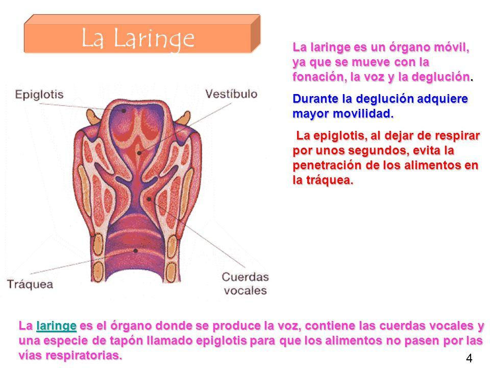 La Laringe La laringe es el órgano donde se produce la voz, contiene las cuerdas vocales y una especie de tapón llamado epiglotis para que los aliment