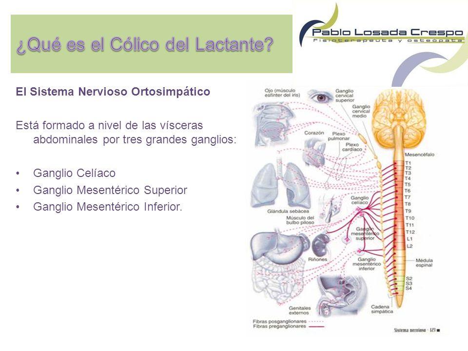 El Sistema Nervioso Ortosimpático Está formado a nivel de las vísceras abdominales por tres grandes ganglios: Ganglio Celíaco Ganglio Mesentérico Superior Ganglio Mesentérico Inferior.