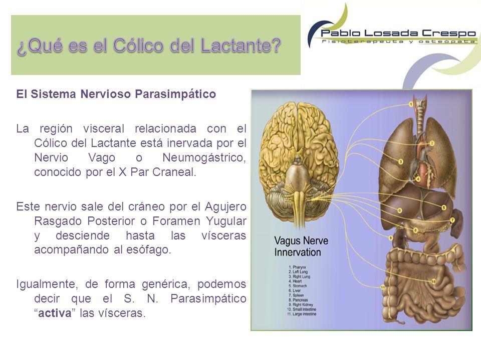 El Sistema Nervioso Parasimpático La región visceral relacionada con el Cólico del Lactante está inervada por el Nervio Vago o Neumogástrico, conocido por el X Par Craneal.
