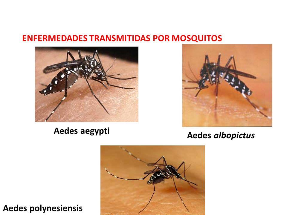 ENFERMEDADES TRANSMITIDAS POR MOSQUITOS Aedes aegypti Aedes albopictus Aedes polynesiensis