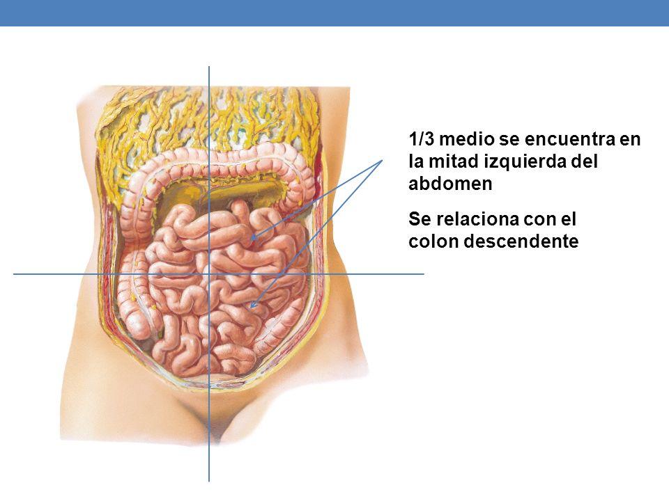 1/3 medio se encuentra en la mitad izquierda del abdomen Se relaciona con el colon descendente