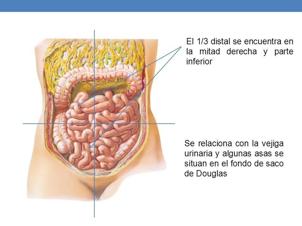 El 1/3 distal se encuentra en la mitad derecha y parte inferior Se relaciona con la vejiga urinaria y algunas asas se situan en el fondo de saco de Do