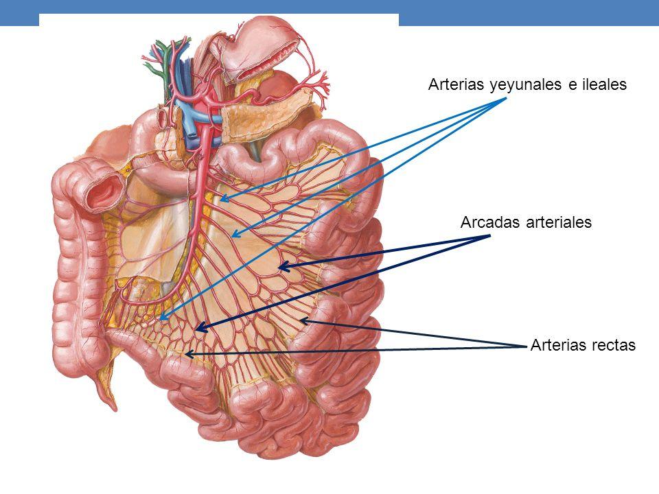 Arterias yeyunales e ileales Arcadas arteriales Arterias rectas