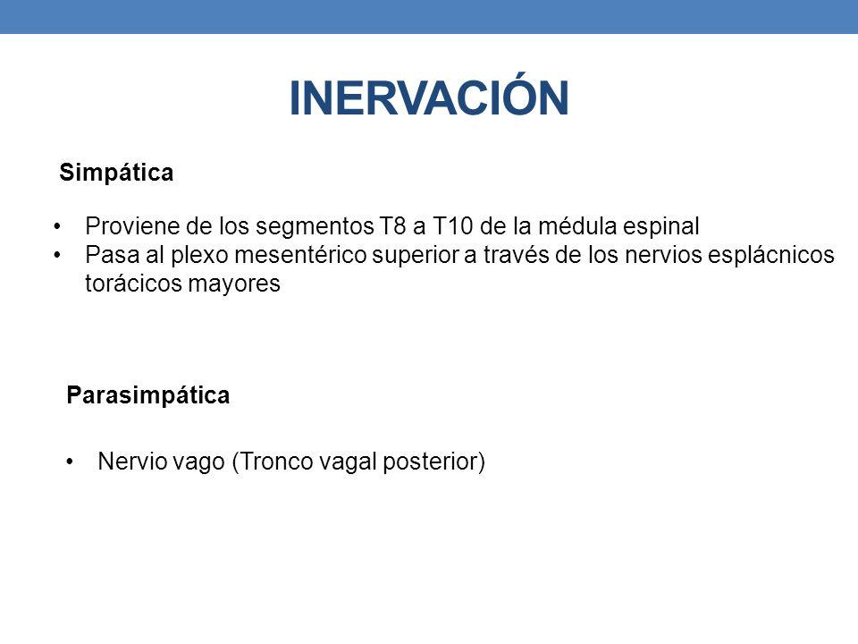 INERVACIÓN Simpática Proviene de los segmentos T8 a T10 de la médula espinal Pasa al plexo mesentérico superior a través de los nervios esplácnicos to