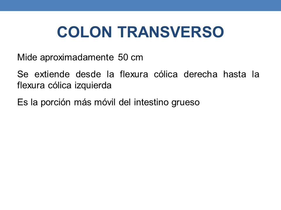 COLON TRANSVERSO Mide aproximadamente 50 cm Se extiende desde la flexura cólica derecha hasta la flexura cólica izquierda Es la porción más móvil del