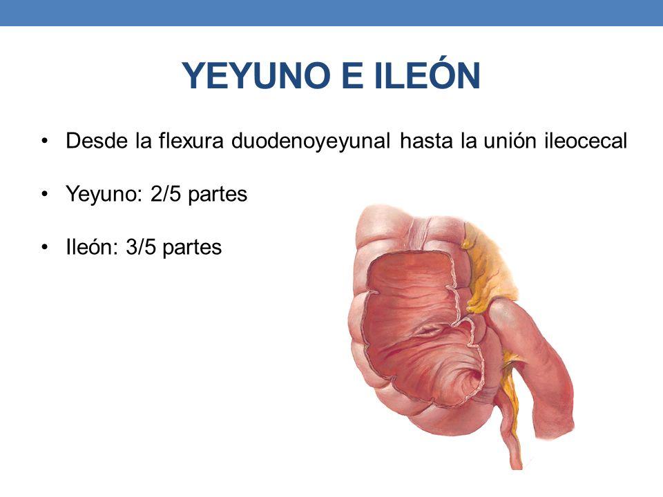 YEYUNO E ILEÓN Desde la flexura duodenoyeyunal hasta la unión ileocecal Yeyuno: 2/5 partes Ileón: 3/5 partes