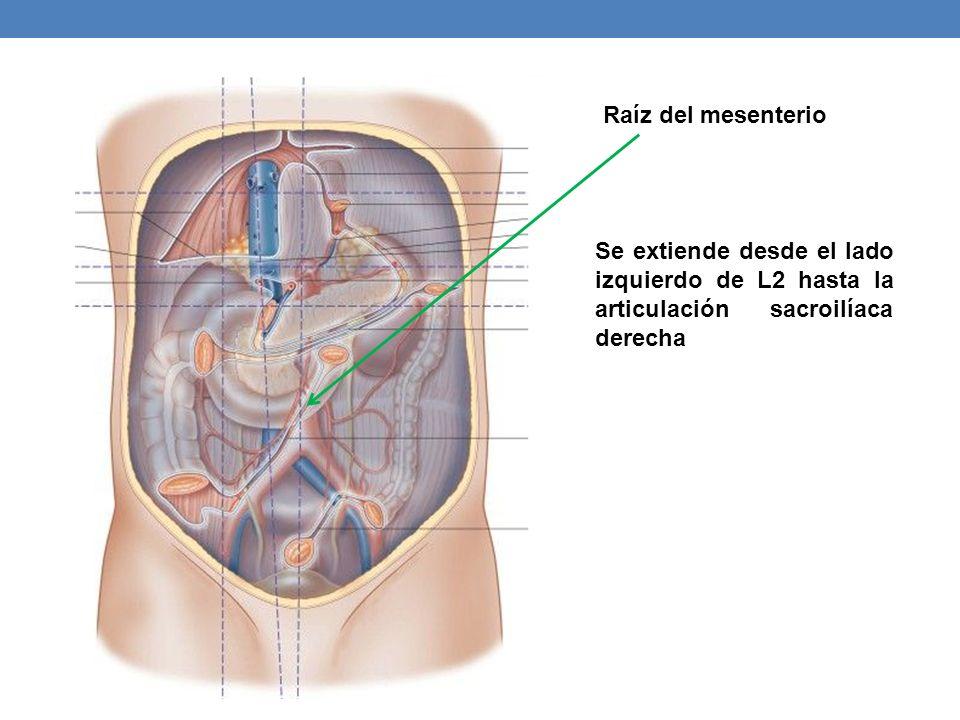 Se extiende desde el lado izquierdo de L2 hasta la articulación sacroilíaca derecha