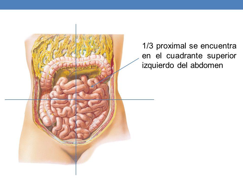 1/3 proximal se encuentra en el cuadrante superior izquierdo del abdomen