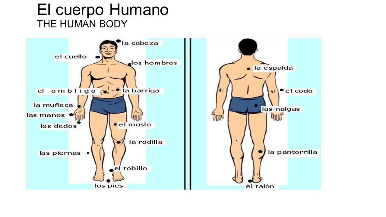Vocabulario 2: El cuerpo humano (leccion 5) Pierna/s = leg/s Cintura = hip Pierna/s =leg/s Rodilla/s = knee/s Huesos = bones Musculo/s = muscle/s Dedo/s= finger/s Ombligo = navel Barriga = belly Hombros = shoulders Muñeca/s = wrist/s Mano/s = Hand/s Muslo/s = Thigh Codo/s = Elbow/s Tobillo/s = ankle/s Pantorrilla/s = calf/s Talon/es =Heel/s Talon de Aquiles = Aquiles heel Pie/s = foot/feet Arteria/s = artery/ies Uña/s = nail/s Dedo del pie = toe Dedos de los pies = toes Sangre = blood Cana/s = grey hair/s Barba = beard Bigote = moustache Perilla = goatee