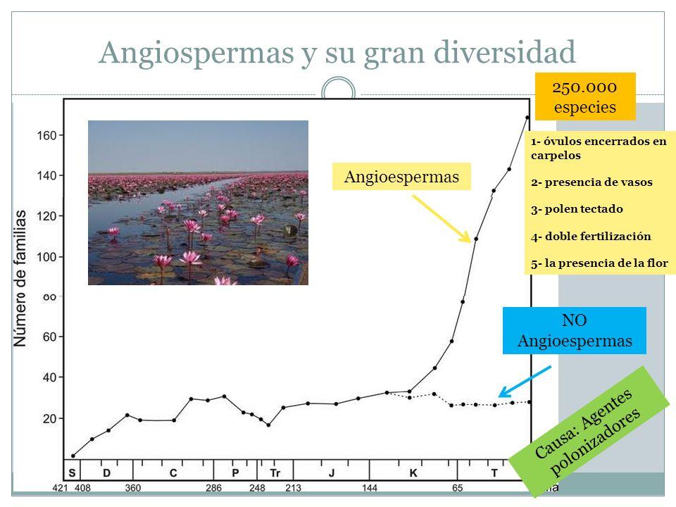 Angiospermas y su gran diversidad Angioespermas NO Angioespermas Causa: Agentes polonizadores 1- óvulos encerrados en carpelos 2- presencia de vasos 3