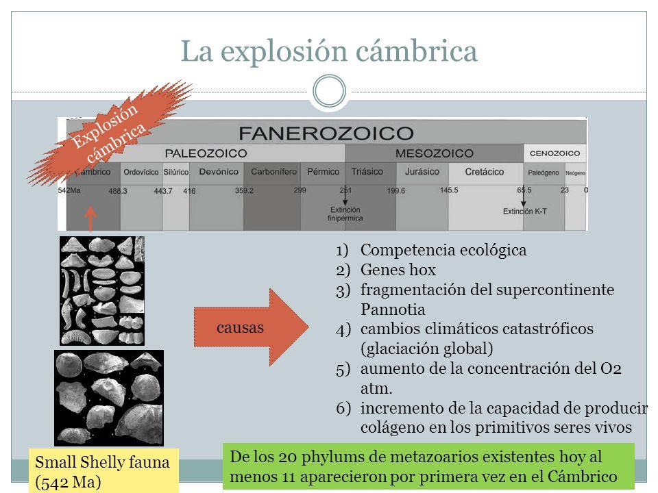 La explosión cámbrica Small Shelly fauna (542 Ma) Explosión cámbrica De los 20 phylums de metazoarios existentes hoy al menos 11 aparecieron por prime