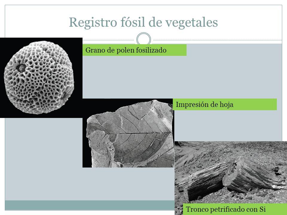 Registro fósil de vegetales Grano de polen fosilizado Impresión de hoja Tronco petrificado con Si
