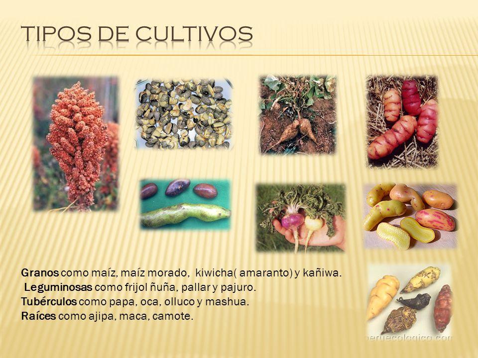Granos como maíz, maíz morado, kiwicha( amaranto) y kañiwa. Leguminosas como frijol ñuña, pallar y pajuro. Tubérculos como papa, oca, olluco y mashua.