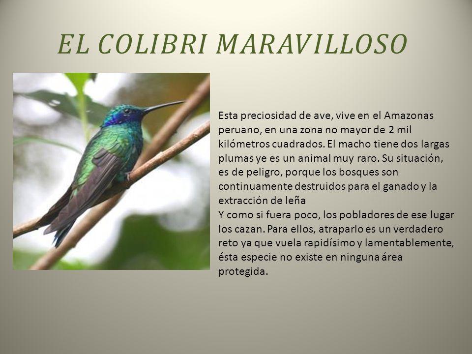 Esta preciosidad de ave, vive en el Amazonas peruano, en una zona no mayor de 2 mil kilómetros cuadrados.