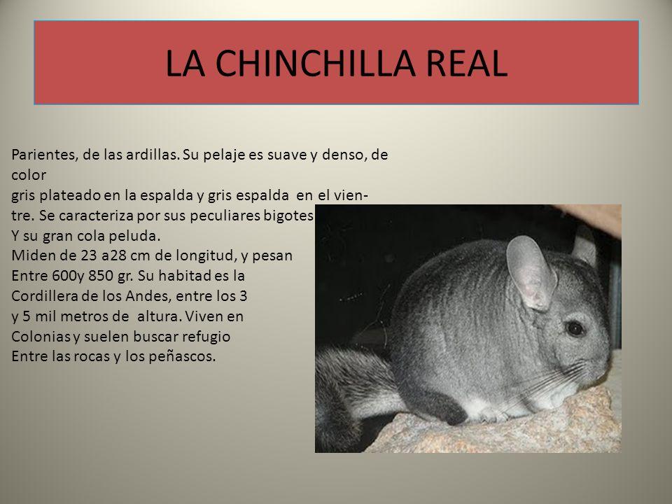 LA CHINCHILLA REAL Parientes, de las ardillas.