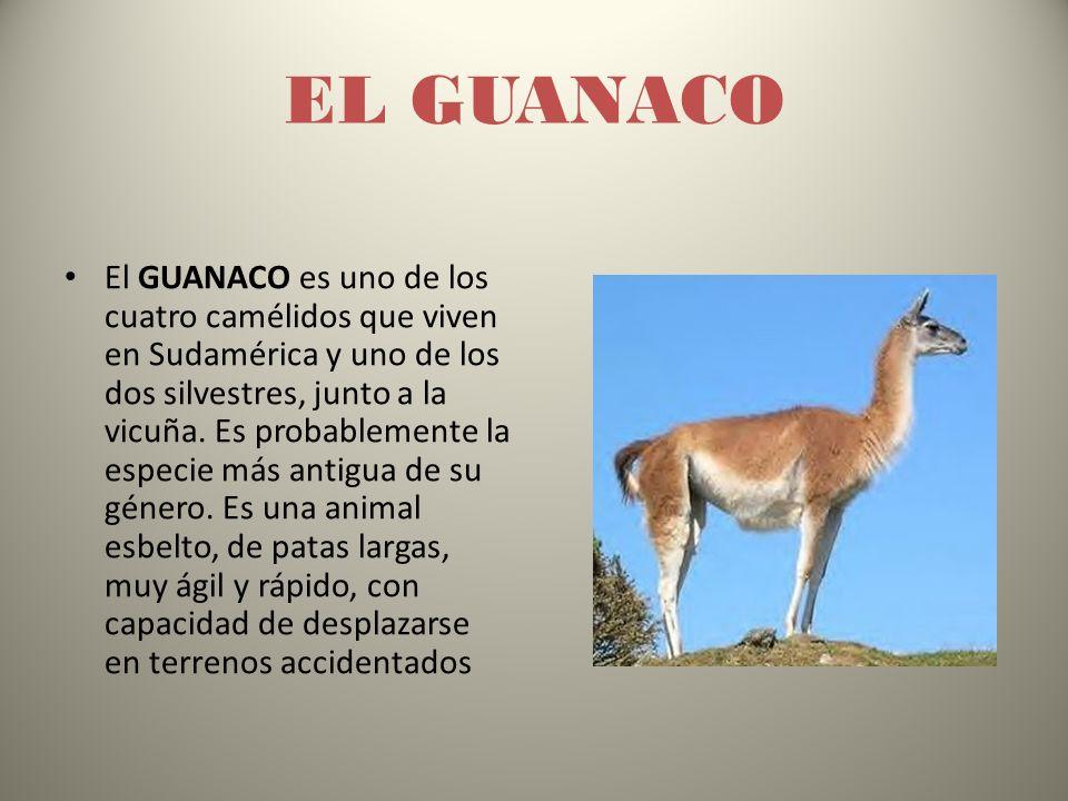 EL GUANACO El GUANACO es uno de los cuatro camélidos que viven en Sudamérica y uno de los dos silvestres, junto a la vicuña.
