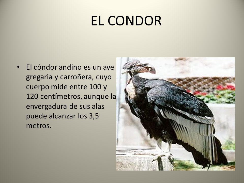 EL CONDOR El cóndor andino es un ave gregaria y carroñera, cuyo cuerpo mide entre 100 y 120 centímetros, aunque la envergadura de sus alas puede alcanzar los 3,5 metros.