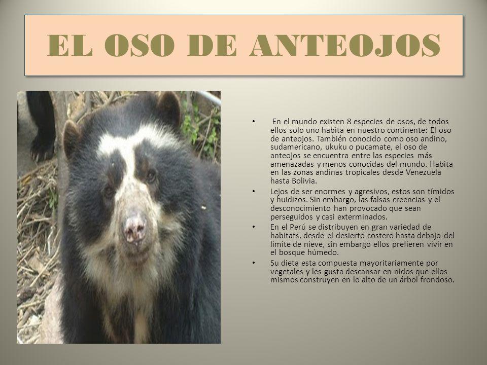 EL OSO DE ANTEOJOS En el mundo existen 8 especies de osos, de todos ellos solo uno habita en nuestro continente: El oso de anteojos.