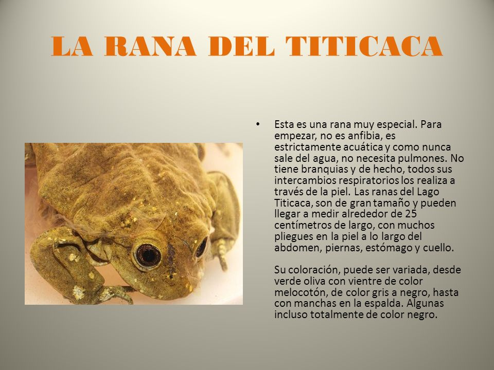 LA RANA DEL TITICACA Esta es una rana muy especial.