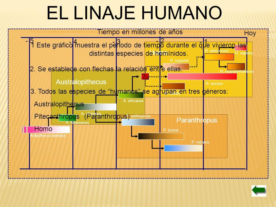 EL LINAJE HUMANO Tiempo en millones de años - 1 - 2 - 3- 4 - 5 Ardipithecus ramidus A. Anamensis A. afarensis A. africanus P. aethiopicus P. boisei P.