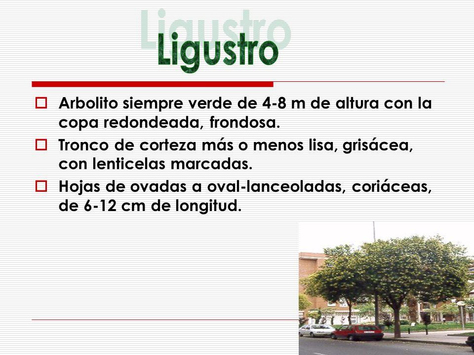 Arbolito siempre verde de 4-8 m de altura con la copa redondeada, frondosa. Tronco de corteza más o menos lisa, grisácea, con lenticelas marcadas. Hoj
