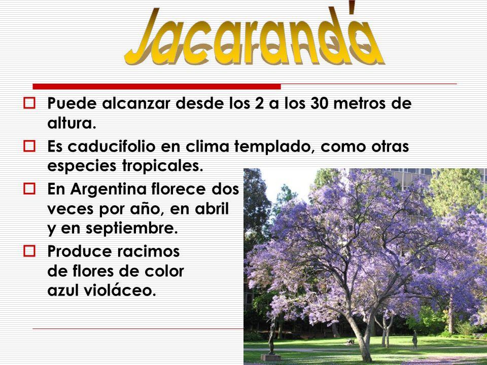 Puede alcanzar desde los 2 a los 30 metros de altura. Es caducifolio en clima templado, como otras especies tropicales. En Argentina florece dos veces